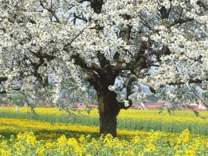 Cseresznyefák árnyékában