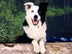 Fahéj, a collie